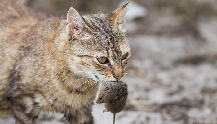 Why cats eat head off the mouse