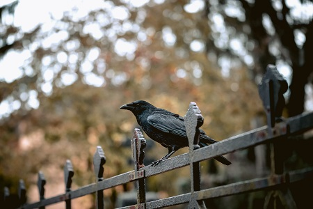 what attracts crows to an area