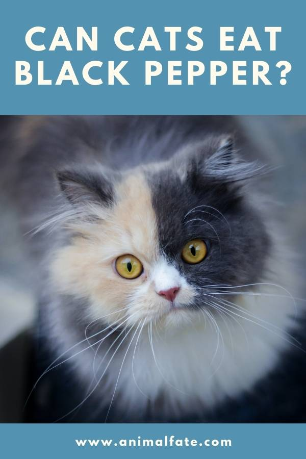 can cats eat black pepper