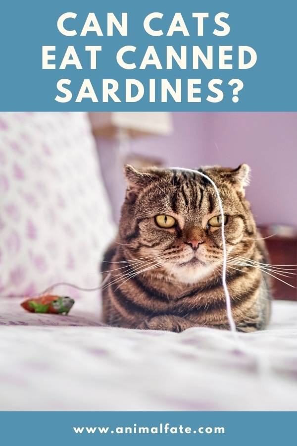 can cats eat canned sardines