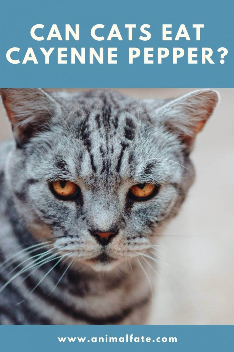 can cats eat cayenne pepper