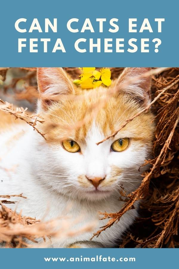 can cats eat feta cheese