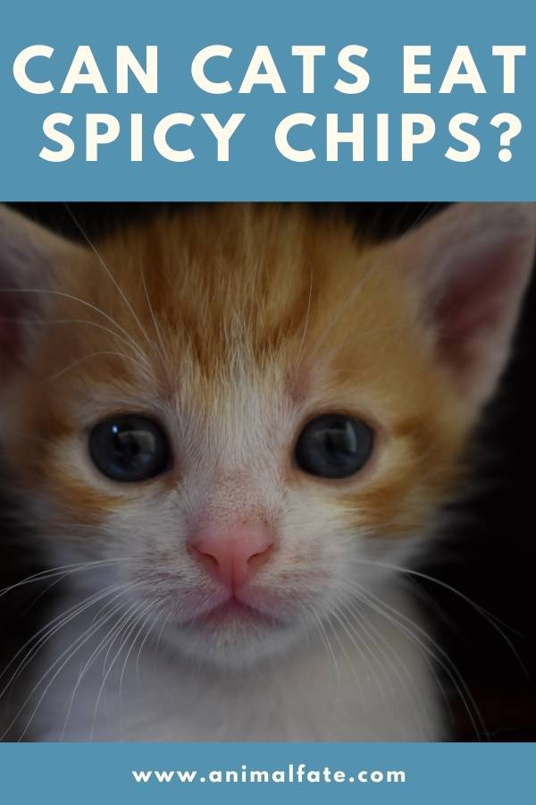 can cats eat spicy chips