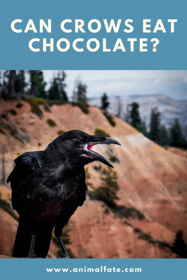 can crows eat chocolate