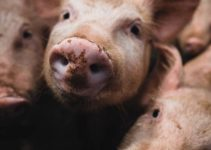 Can Pigs Eat Bacon? (Is It Ethical?)
