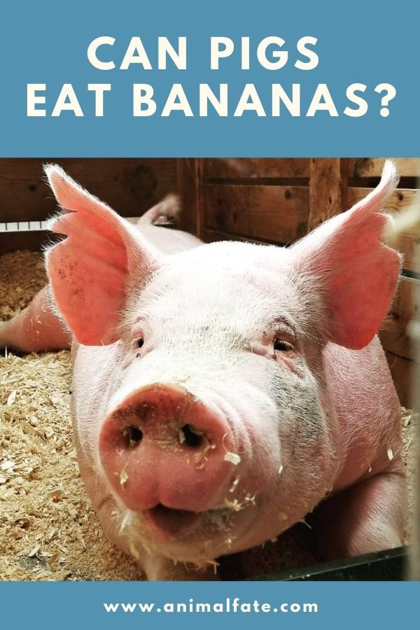 can pigs eat bananas
