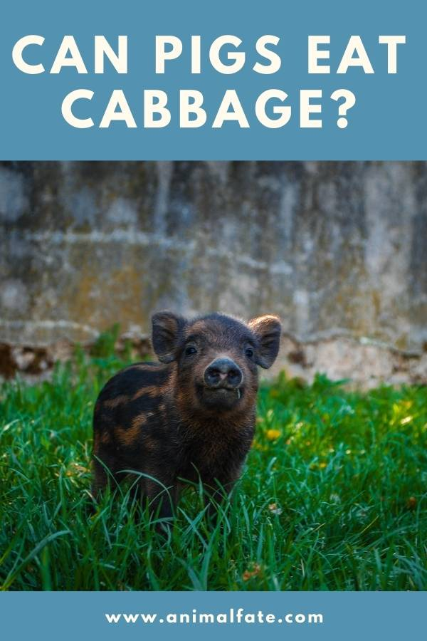 can pigs eat cabbage