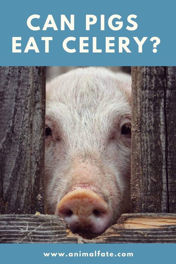 can pigs eat celery