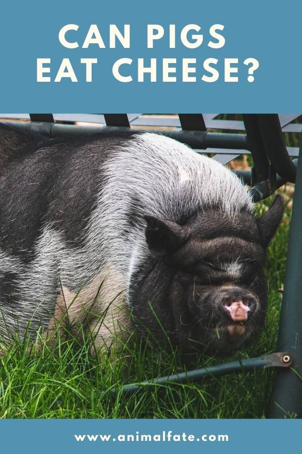 can pigs eat cheese