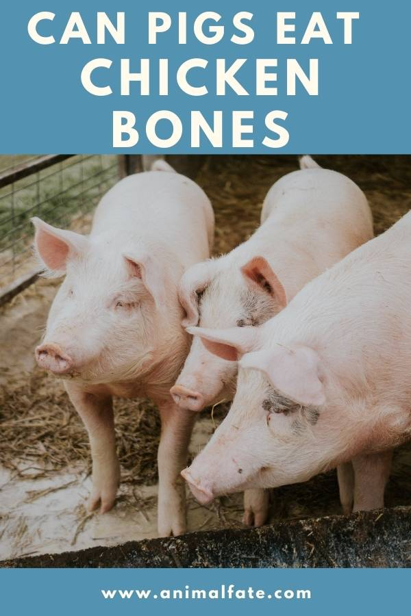 can pigs eat chicken bones
