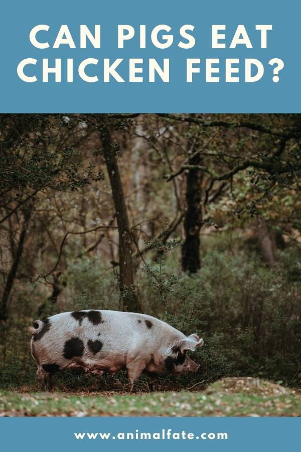 can pigs eat chicken feed