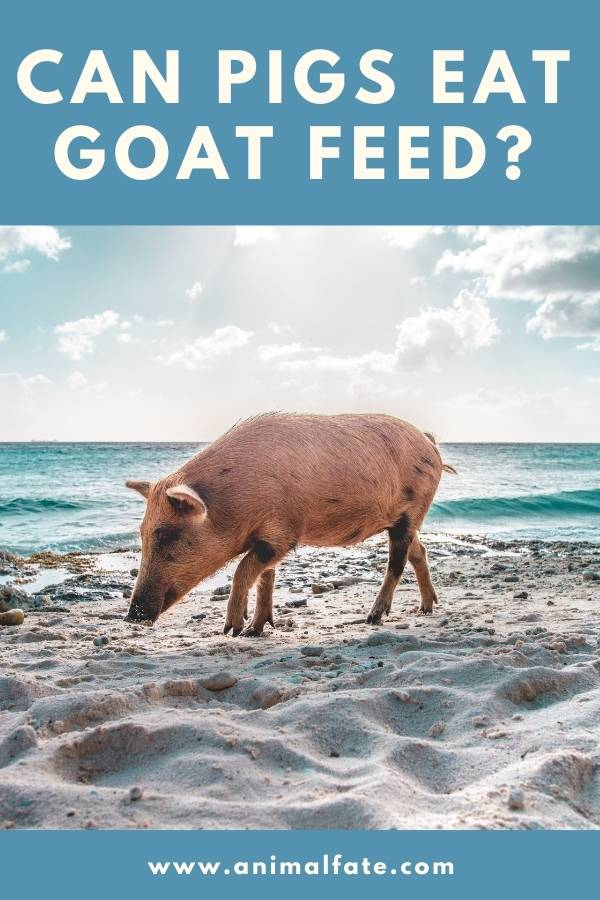 can pigs eat goat feed