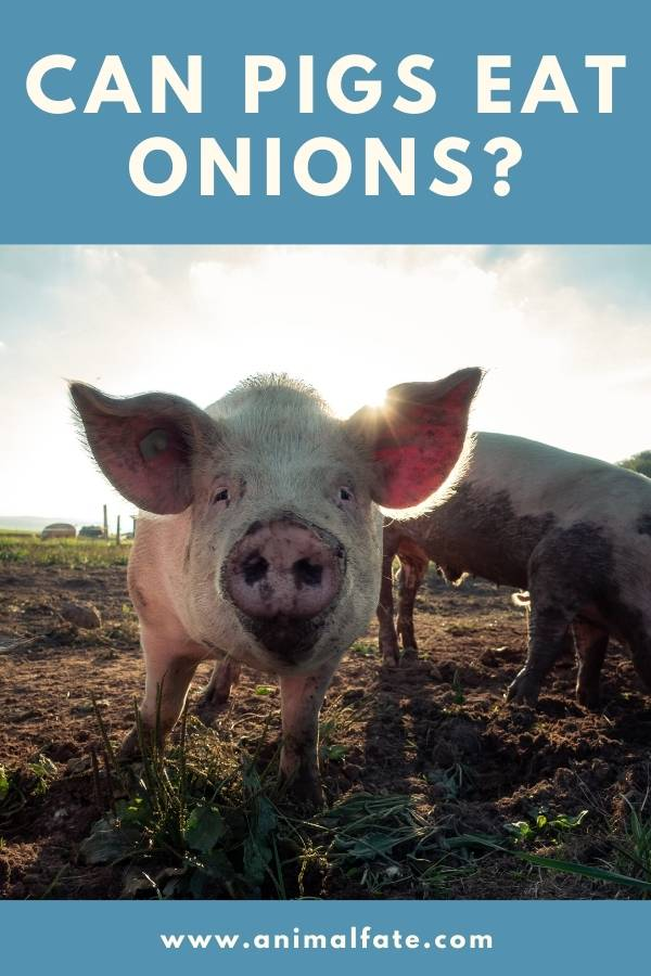 can pigs eat onions