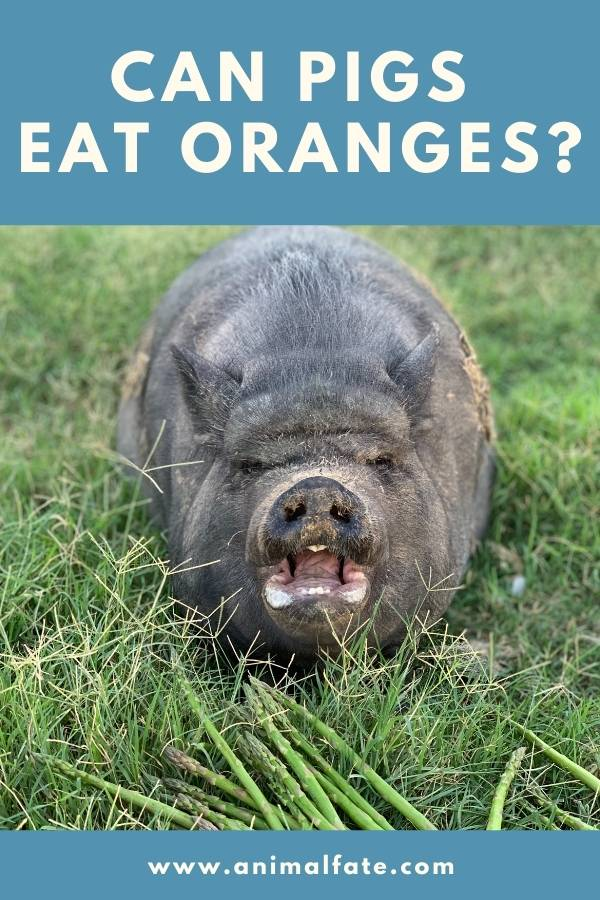 can pigs eat oranges