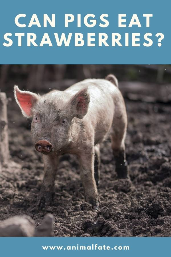 can pigs eat strawberries