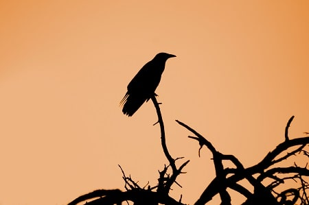 crow on the tree