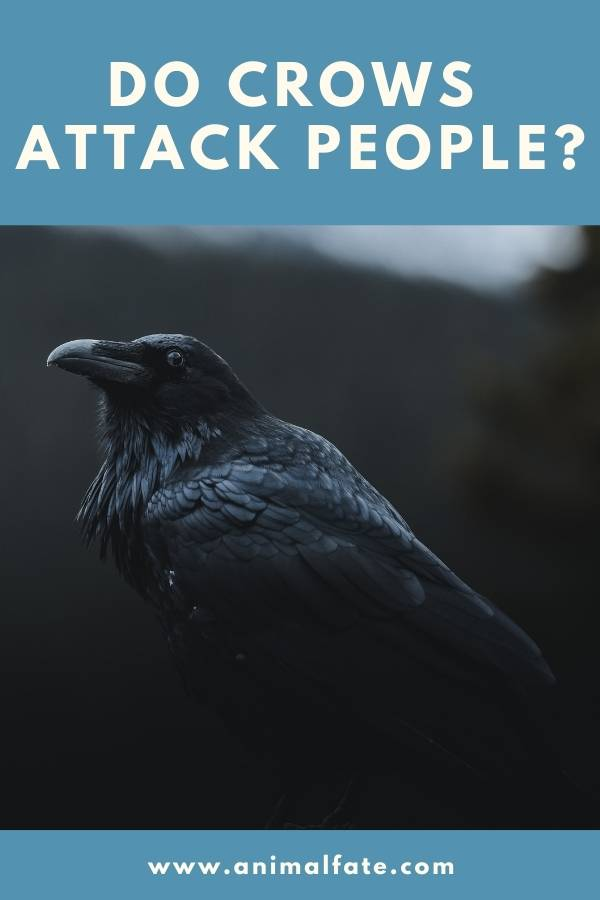 do crows attack people