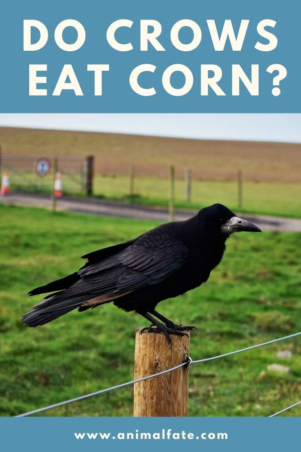 do crows eat corn