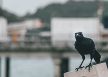 Do Crows Eat Fish? (Yep, They Do)