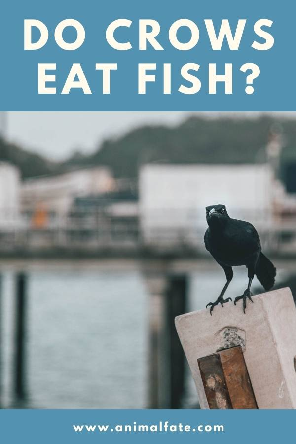 do crows eat fish