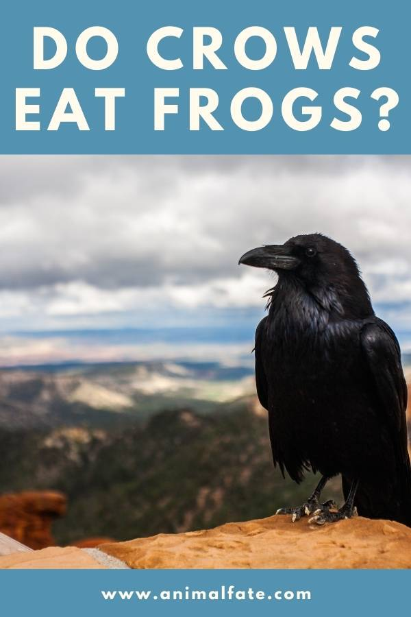 do crows eat frogs