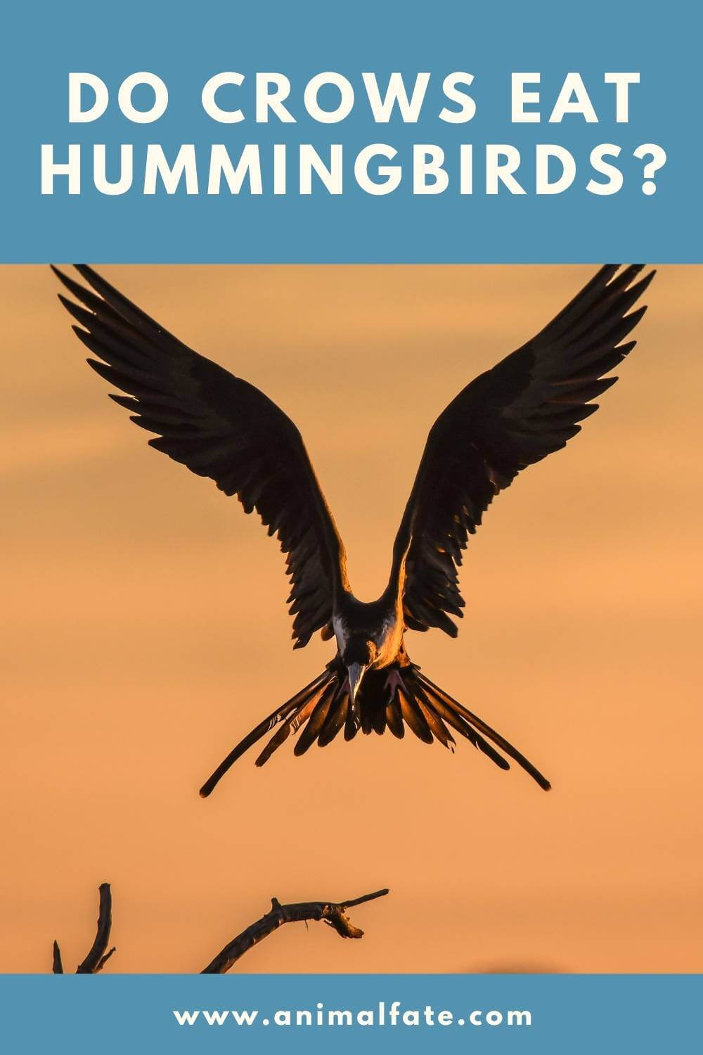 do crows eat hummingbirds
