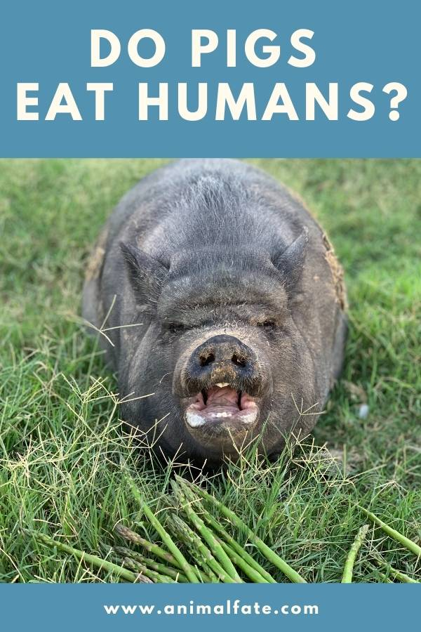 do pigs eat humans