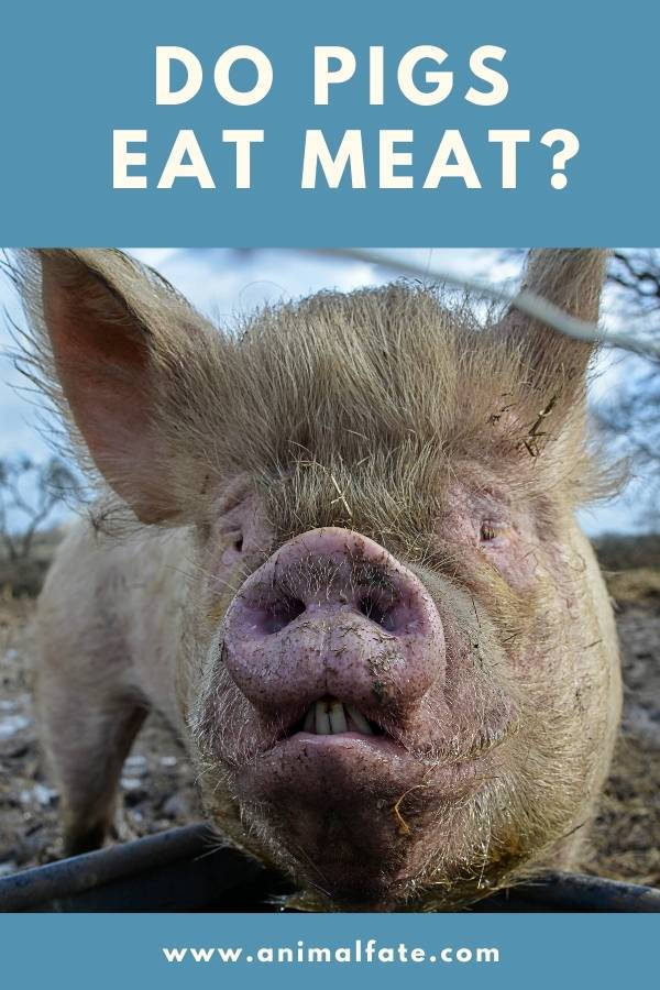 do pigs eat meat