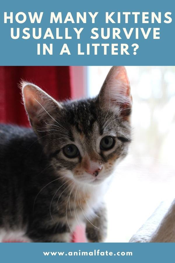 how many kittens usually survive in a litter