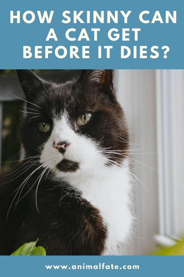 how skinny can a cat get before it dies