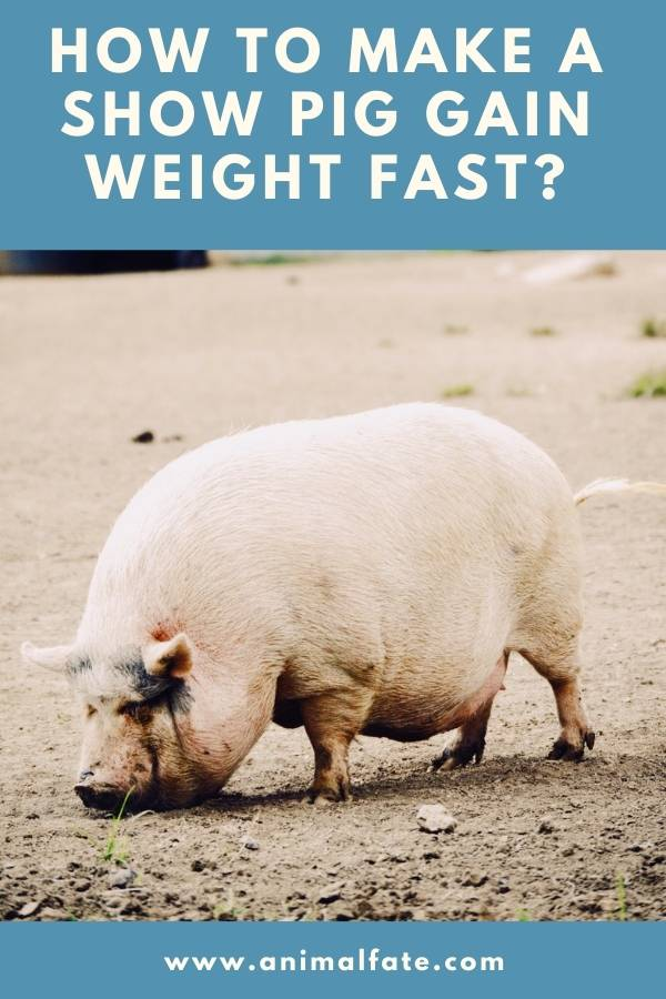 how to make a show pig gain weight fast