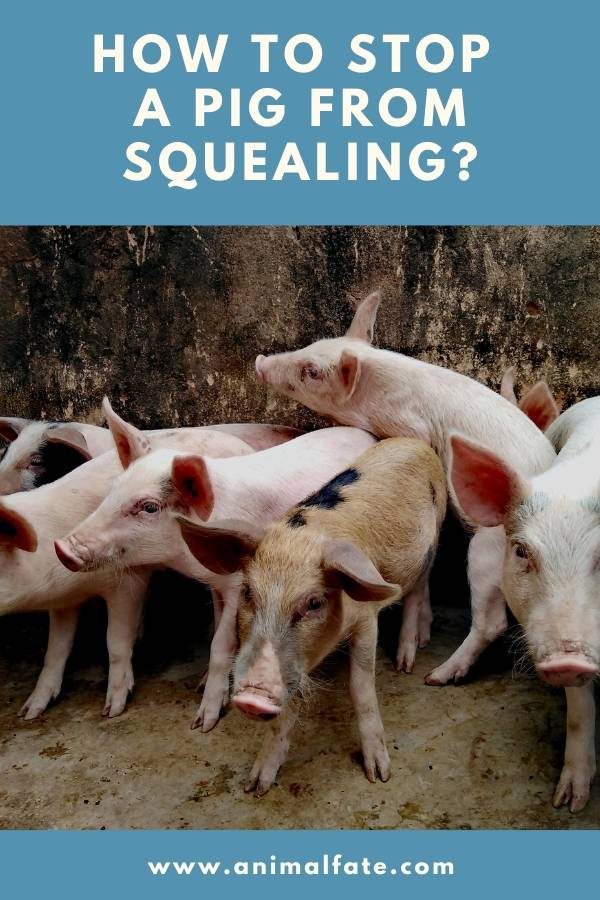 how to stop a pig from squealing