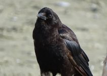 What Do Baby Crows Eat and Drink?
