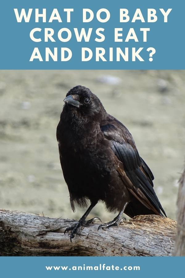 what do baby crows eat and drink