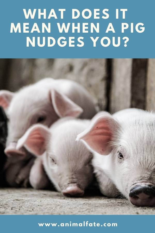 what does it mean when a pig nudges you
