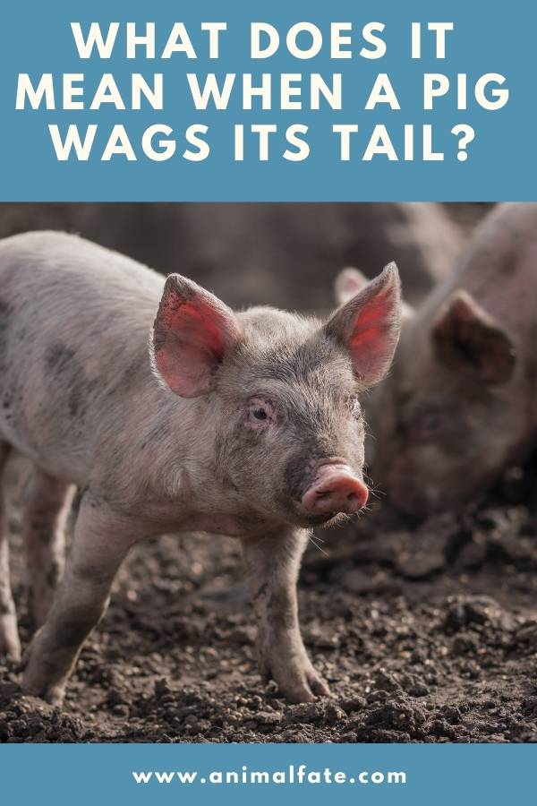 what does it mean when a pig wags its tail
