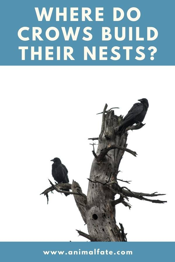 where do crows build their nests