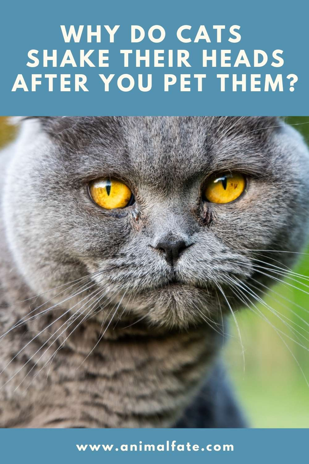 why do cats shake their heads after you pet them