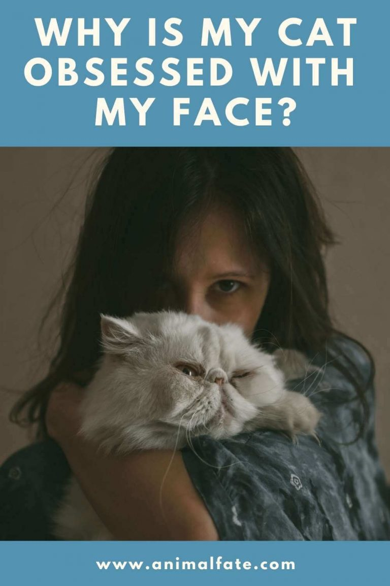 why is my cat obsessed with my face