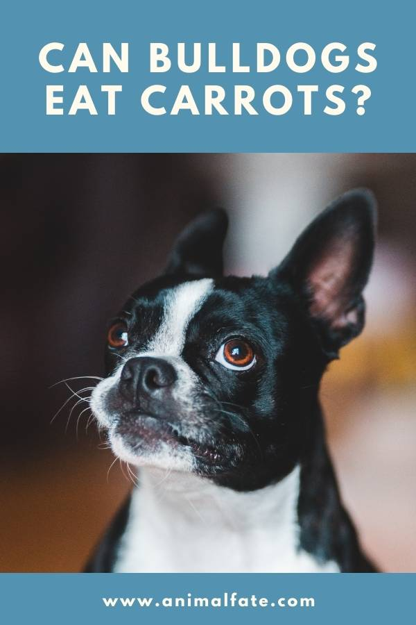 can bulldogs eat carrots
