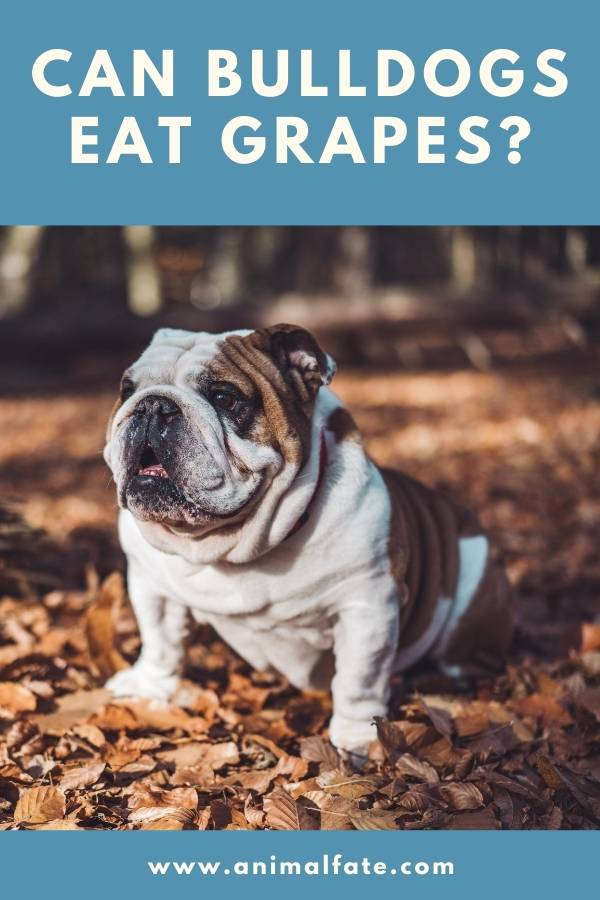can bulldogs eat grapes