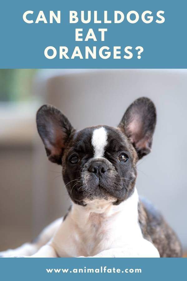 can bulldogs eat oranges