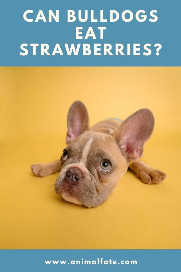 can bulldogs eat strawberries