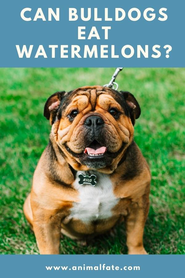 can bulldogs eat watermelons