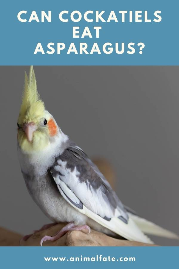 can cockatiels eat asparagus