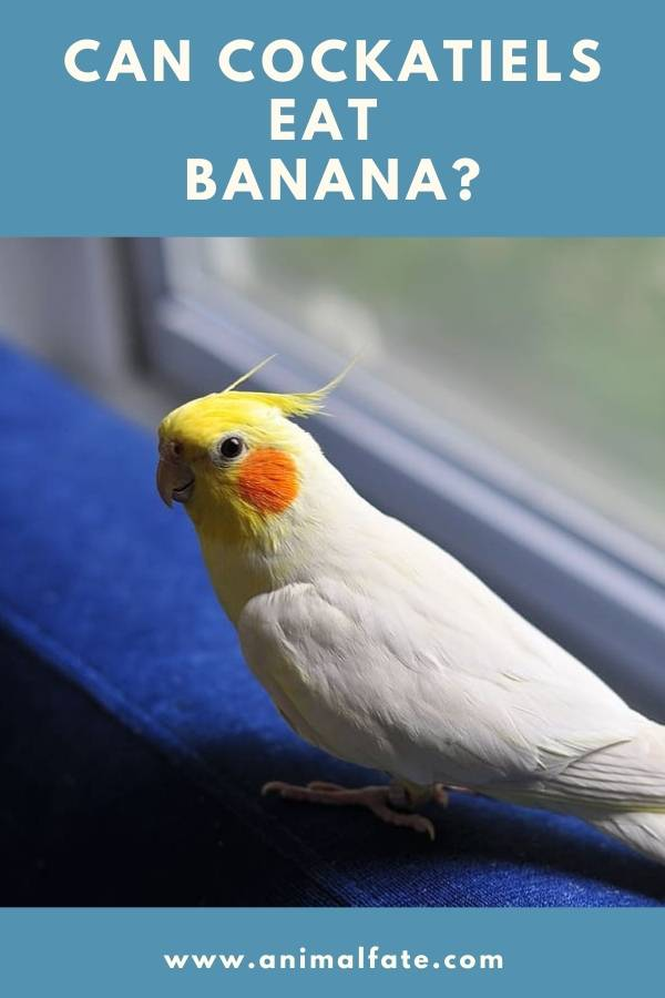 can cockatiels eat banana