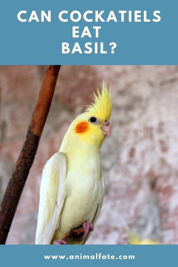 can cockatiels eat basil