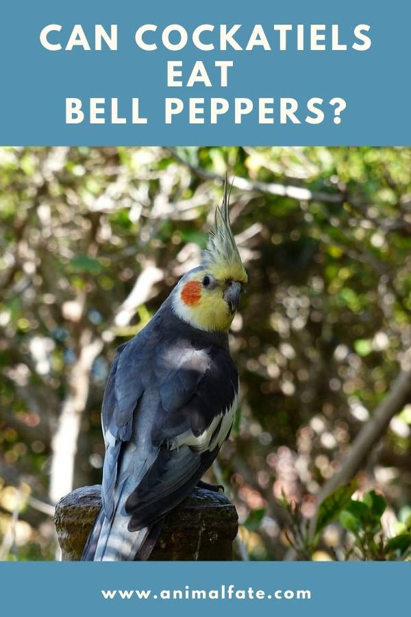 can cockatiels eat bell peppers