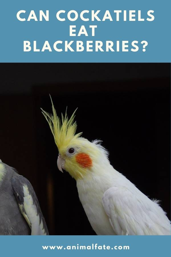 can cockatiels eat blackberries