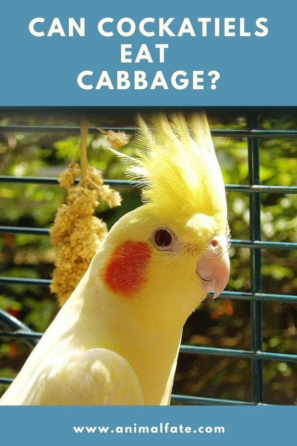 can cockatiels eat cabbage